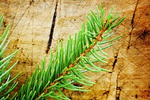 Green fir branches on an old wooden
