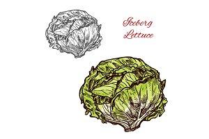 Iceberg lettuce sketch vegetable