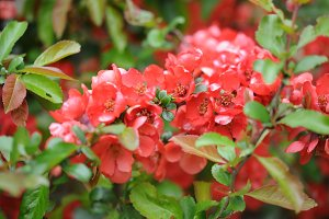 Red peach apple flowers