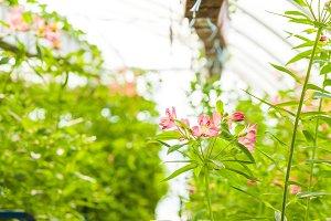 Growing a flower of alstroemeria in