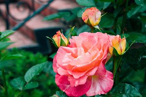 garden rose with buds on a backgroun