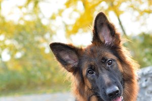 Long haired german shepherd dog