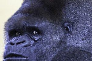 silverback gorilla male