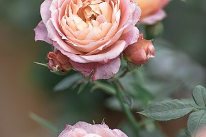 Close-up of delicate pale pink roses