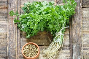 Fresh green cilantro, coriander