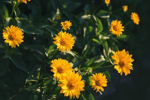 Yellow daisies in the background of