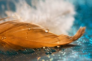 A drop of water on a gold feather