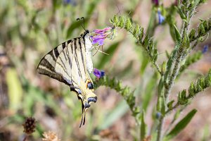 European Swallowtail butterfly
