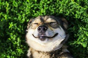 собака улыбается лежа на траве