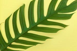 palm monstera leaf on yellow
