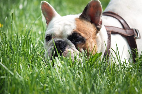 Animal Stock Photos: Kozorog - Dog walking in the Park. English