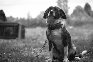 Dog on a chain in the village yard