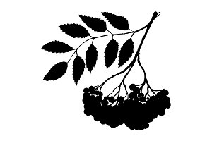 Rowan ashberry branch ink art vector