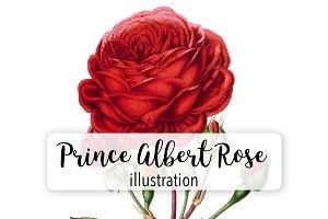 Florals: Prince Albert Rose
