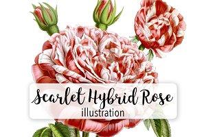 Florals: Scarlet Hybrid Rose
