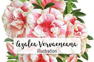 Florals: Vintage Azalea Vervaeneana