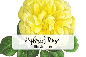 Florals: Yellow Hybrid Rose