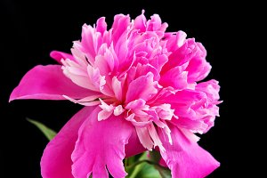 Pink peony on a black background