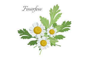 Feverfew floral element with green
