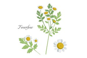 Feverfew plant with blossom blooming