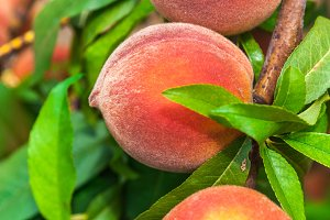 Fresh organic ripe peach tree with g