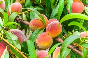 Fresh organic ripe peach tree with g