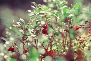 Wild berries,cowberry.