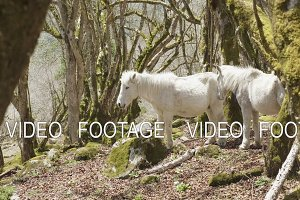 White horses in mysterious forest