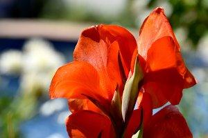 Splendent gadiolus at garden
