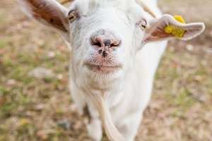 Portrait of a funny goat looking to