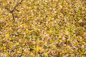 Fallen autumn leaves on the ground