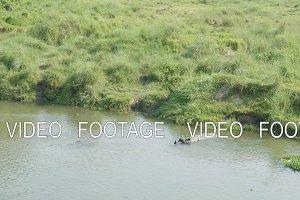 Rhino swims in the river. Chitwan
