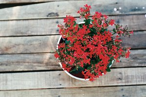 Red Flowers in a Pot on Film