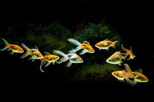 Goldfishes swimming