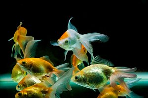 Goldfishes swimming together
