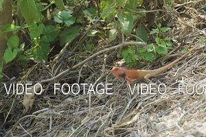 Orange lizard onground finds insects