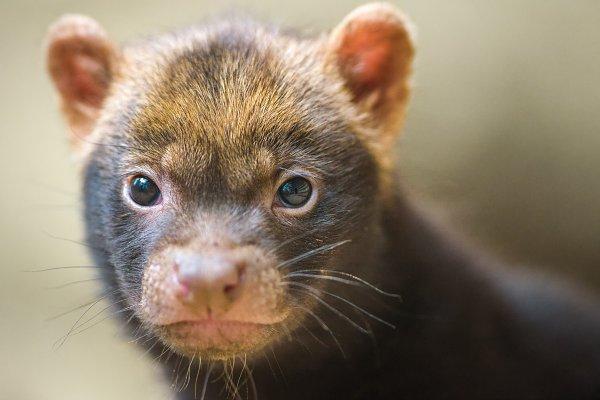 Animal Stock Photos: Nick Fox  - Portrait of a bush dog puppy