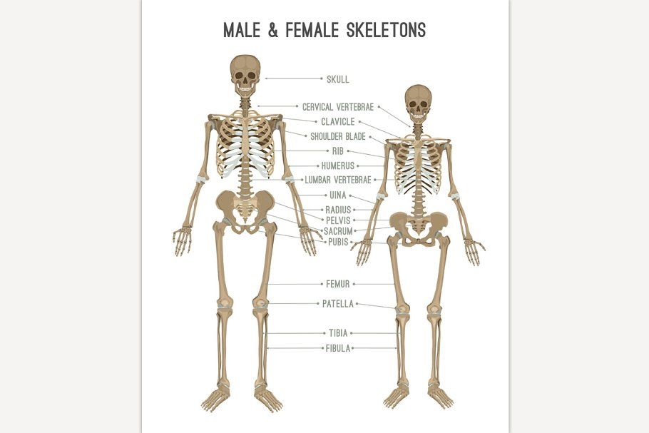 Female and male skeleton differences ~ Illustrations ~ Creative Market