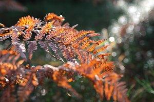 Autumn fern.