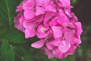 Summer pink flower after rain