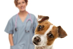 Jack Russell Terrier and Female Vete