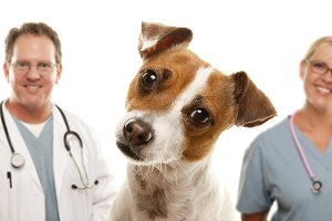 Jack Russell Terrier and Veterinaria
