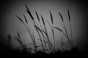 Grass in Silhouette