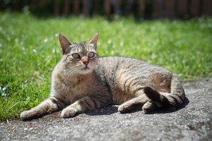 Tabby female cat resting outdoors