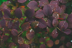 of the maroon bush after the rain
