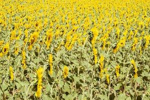 Field of Sunflowers in Spain
