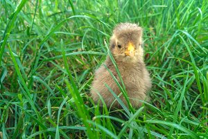 Week old gray chicken on the lawn.