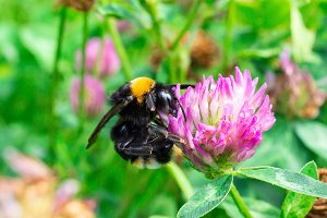 bumblebee on a clover
