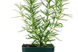 Rosemary or Rosmarinus Herbs Plants