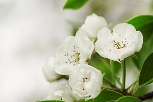 Snow white flowers of pear on a blur